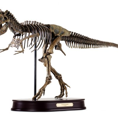 Tyrannosaurus / T.rex Skeleton Model