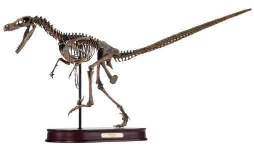 Velociraptor Skeleton Model