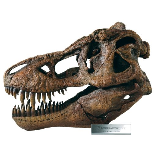 Tyrannosaurus Skull Model - Large